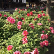 春爛漫の京都 ~ 建仁寺の牡丹