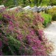 松平郷は、秋色に染まって来ています!……天下茶屋から花便り!