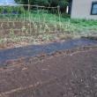 タマネギの苗作り