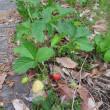 のらイチゴ園はじまりました。