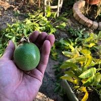 パッションフルーツ のグリーンカーテン撤収!