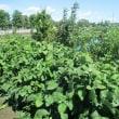 日記(9.18)野菜・新聞記事「衆院解散へ・人口推計」