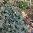 白菜の菜花