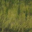 耕作放棄地の稲穂