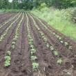 ジャガイモと大豆の様子