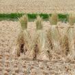 稲わらの乾燥風景