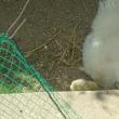 孵ったひよこは2羽でした<(_ _)>