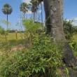 シェムリアップのガーデンの草花や、おおぎ椰子。