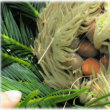 ★赤い蘇鉄の実も熟れる頃ナウ 島育ち