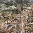 墓地の枯草に身を隠すこの鳥は