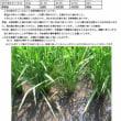 高知県からお米の生育の便りが届きました!