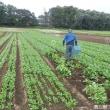 秋の長雨に晴れ間 ホウレンソウ収穫