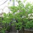 柿の木の葉(季節だより13)
