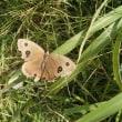 ボロボロの蝶