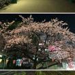 来週には開花しそうな上野の桜。