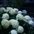 アナベル咲いています