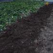 コガネムシによる被害が殆ど出ない畑で、サツマイモを収穫しました