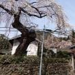☆山形平清水・平泉寺の桜