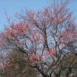 蝋梅園・ユリノキ・クマザサ・梅園の紅梅