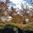 ソメイヨシノの桜並木の落ち葉11.12