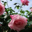 『旧吉田邸の薔薇』 スパニッシュ
