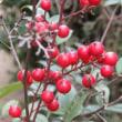 庭先の赤い実白い実