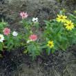ジニア:百日草の種類