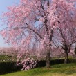 枝垂れ桜が満開・思い出の里