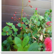 仮称「赤実花」の名は&食器洗い洗剤