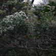 咲き始めた綿菓子  クロバイ