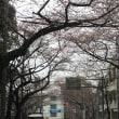 桜に雪 ~バラ買い人は<青バラ、赤バラ、香りのバラ、スタンダード>