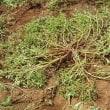■ <庭の雑草が「DHA/EPA」含有植物No.1、あなたの記憶力をアップ!!>