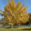 銀杏の樹とコウノトリ