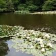 明治神宮御苑の花菖蒲