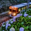線路脇の紫陽花