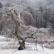 長沢のしだれ桜の冬1