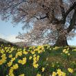 第912回 わに塚の桜