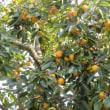 生り年の柿