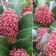 スキミア・ルベラの花は