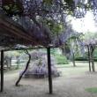 藤の花咲く「フラワーセンター」