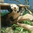 シャンシャンに会って来ました☆@上野動物園6/1