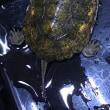 ニホンイシガメ甲長約9cm