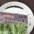 冷蔵庫保存の野沢菜種、発芽良好