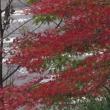 一週間経つと紅葉の色にも少し変化が有りました。
