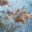 2週間前の咲きかけの八重桜