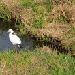 河原のコサギ