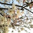 桜もそろそろ終わりですね