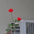 不撓不屈の薔薇(10月13日)