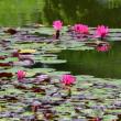 ここの池には、赤い花のスイレンが咲いていた。