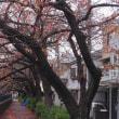 井土ヶ谷橋と大岡川の景色。満開を過ぎた10月桜が綺麗でした。